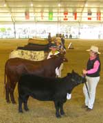 Lucy Kuipers of Elle Kay Stud lining up her Australian Lowline in the inter-breed at the Sydney Royal Show Heifer Show